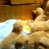【この中に入りたい!】ゴールデンレトリバーの子供たちに囲まれるとどうなるかわかる動画