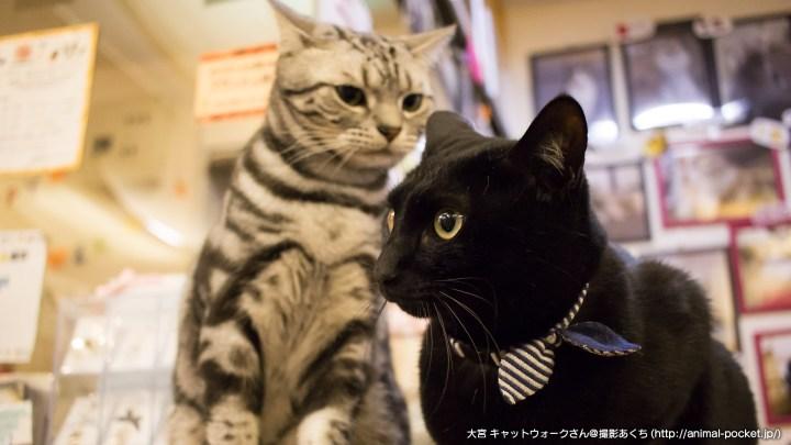 猫カフェ「catwalk」アユムくんとソラくん