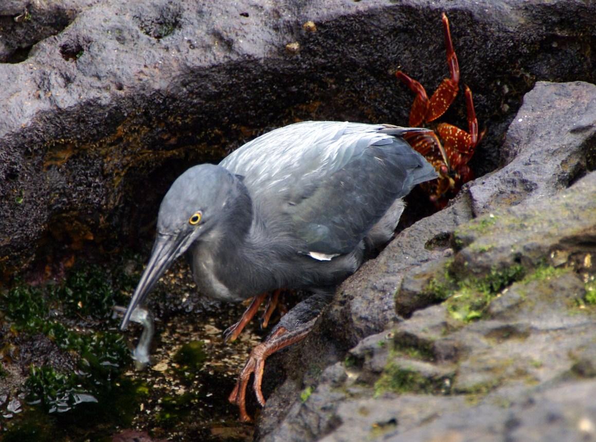 Lava_Heron_Butorides_sundevalli_Galapagos21.jpg