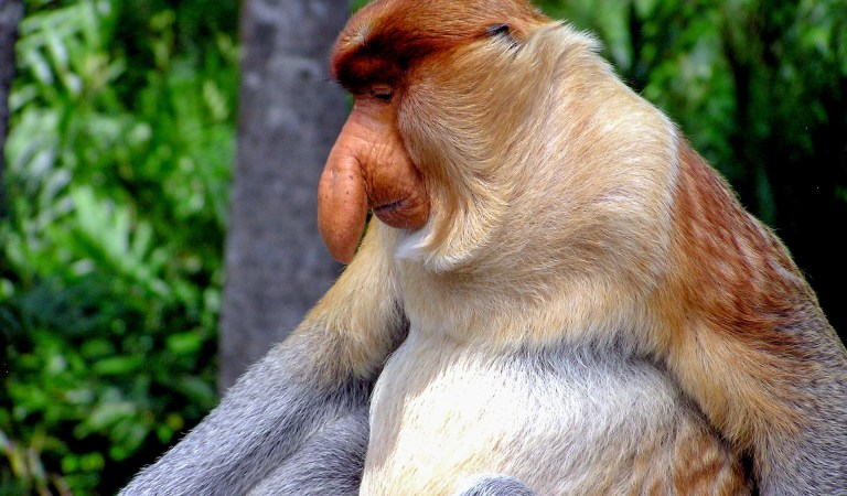 Why is the Proboscis monkey's nose so long?