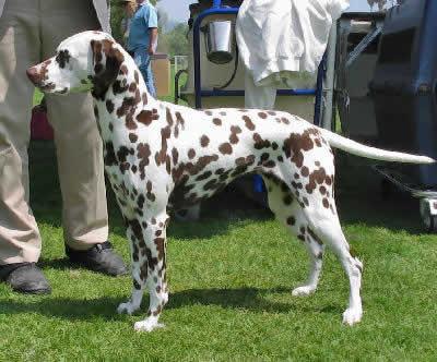 Non Allergic Dogs Dalmatian
