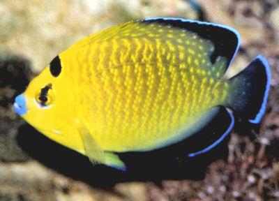 Goldflake Angelfish Apolemichthys xanthopunctatus