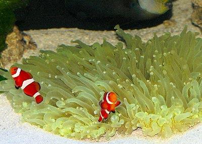 magnificent sea anemone heteractis