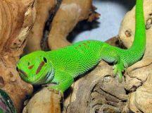 Pet Lizards, Choosing a Lizard, Lizard Care for all Types ...