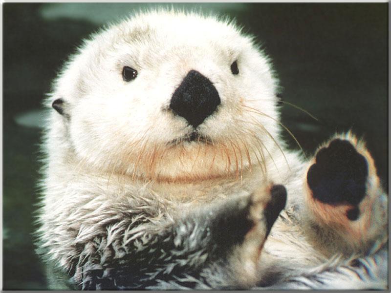 Cute And Funny Baby Koala Wallpaper Sea Otter Enhydra Lutris 해달 바다수달 Gt White Face