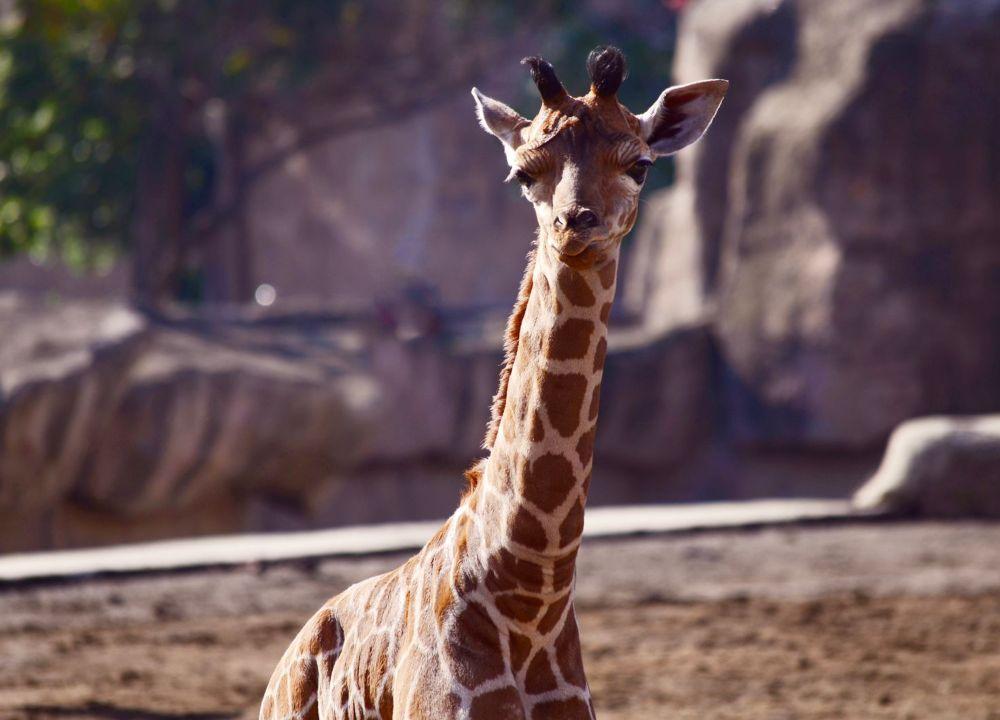 jirafa bebe zoologico aragon nombre