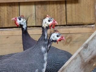 The Guinea Fowls Four