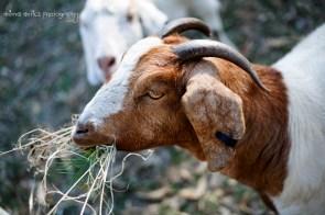 Goats 11