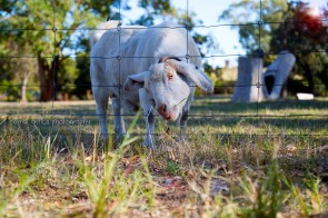 Goats 5