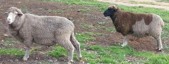 Big Woolly (left) the wether and Shadow the ewe