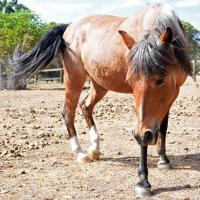 Monaro Pony - reluctant rehome for this stunning little lady