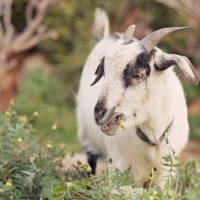 Adopt Me! Gorgeous Gumpy the Goat
