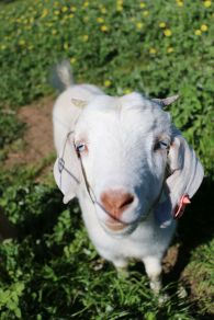 Brilliant blue-eyed Lani