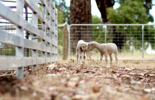 two lambs at Happy Hooves