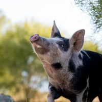 Help Us Find a Home for 'Baby' the Pig