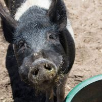Fred & Mali - 2 Pigs Looking for New Digs
