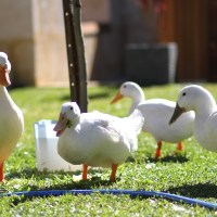 Gorgeous Ducks Need a New Dwelling