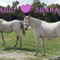 Two Mature Mares in Urgent Need of a Home