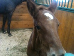 Baby horse at Crosscreek Farm