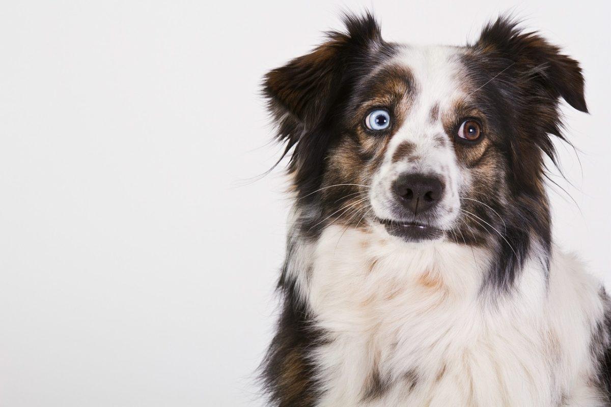 Berger Australien  7 choses  savoir sur ce chien exceptionnel