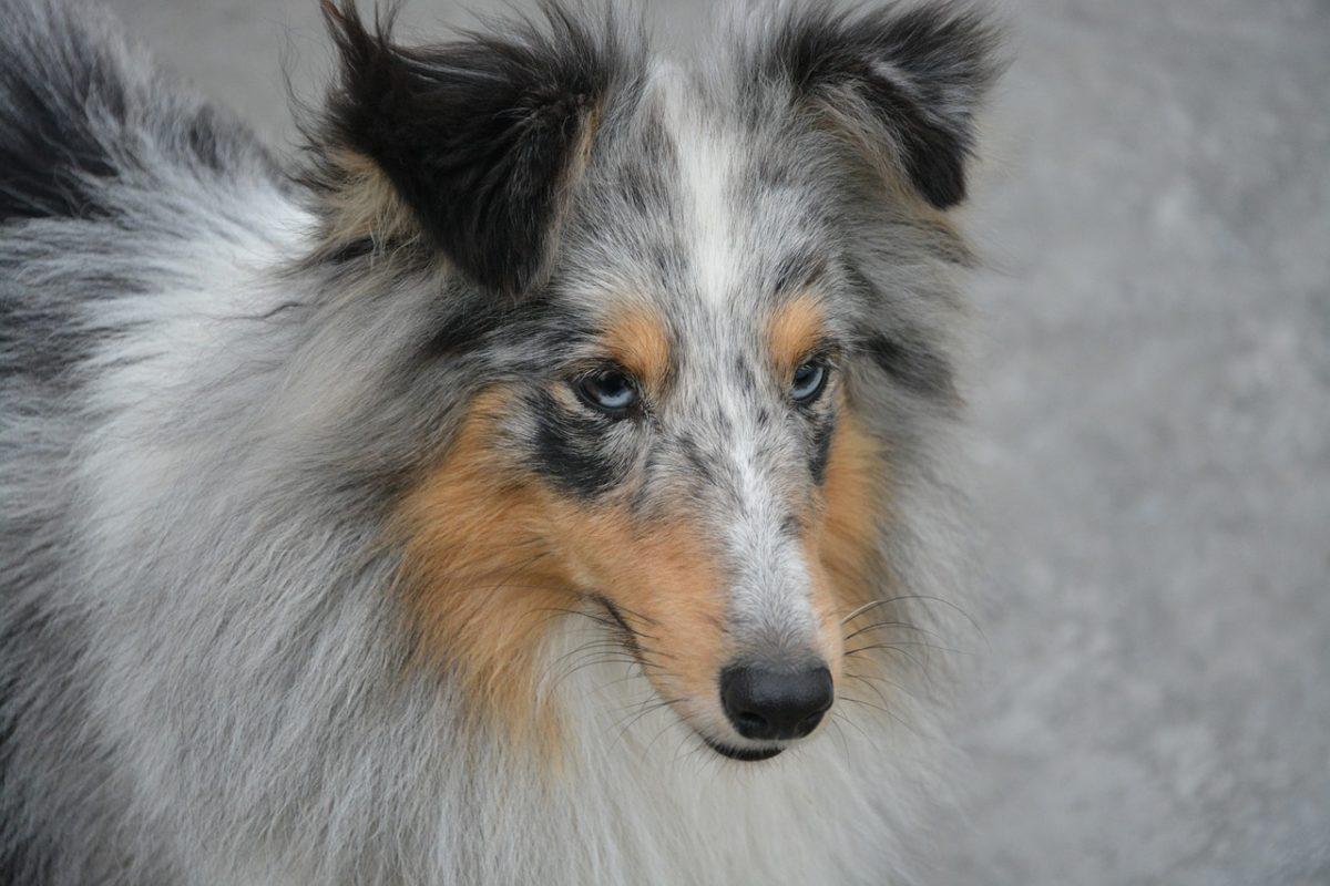 https animalaxy fr top 6 des races de chiens aux yeux bleus