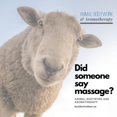 Sheep massage and bodywork