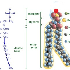 Fat Structure Diagram Data Warehouse Architecture With Explanation Fatty Acid Learn Biochemistry Image Credit Http Schoolworkhelper Net Wp Content Uploads 2010 06 Lipid Gif