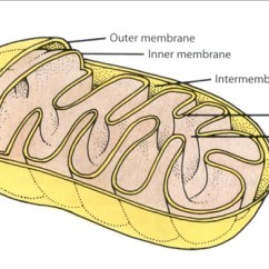 Mitochondrion Structure Diagram Ford Fleet Wiring Diagrams Chapter 5 The Cell Powerhouse Mitochondria