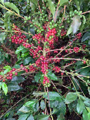 Café de Colombia Finca el Jardín- cafeto con fruto