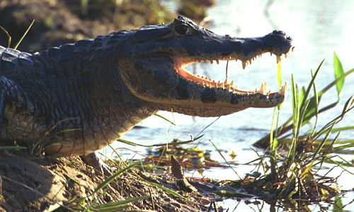 How Animals Eat Their Food Alligator