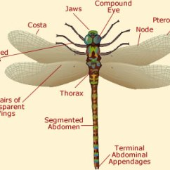Dragonflies Eye Diagram Wiring 12 Volt Relay Dragonfly Anatomy Illustration Of A External