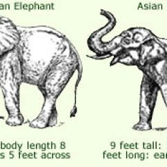 African Elephant Food Chain Diagram 2002 Mercury Cougar Parts Anatomy Facts Complete Of For More Detailed Information On Either The Or Asian Click Individual Images In Picture Below