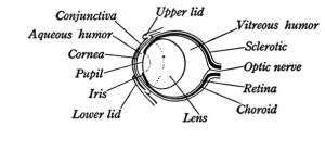 Anatomy Of A Frogs Eye  DiagramIllustration Of The Eye
