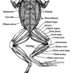 Frog Head Diagram Labeled Chevrolet Sonic 2016 Stereo Wiring Ventral View Of Muscles In A Anatomy Frogs