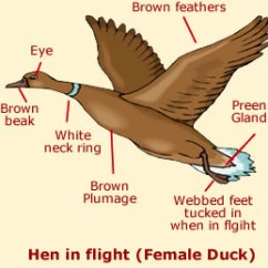 Duck Wing Diagram Saltwater Ecosystem Anatomy Facts Diagrams Of Ducks The Hen Female Has Mottled Brown Feathers A Plumage And Also White Ring Around Her Neck Like Drake She Beak Small