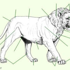 Teeth Diagram Labeled Horizon Soil Formation Lion Anatomy - Big Cat & Lioness