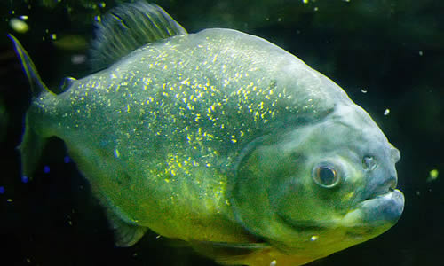 Piranha Fish - Facts, Diet & Habitat Information