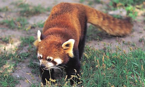 red pandas facts diet