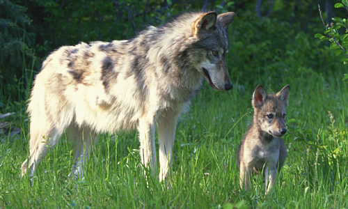 Image result for images of wolves and their pups