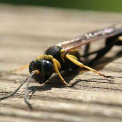 Hornet Anatomy Diagram Mondeo Mk4 Radio Wiring Mud Dauber Wasp Facts Pictures Habitat Information