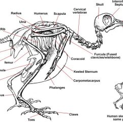 Ostrich Skeleton Diagram Ford 5 4 Heater Hose Bird Showing Of A