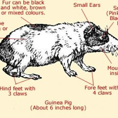 Diagram Of Ribs And Organs 2016 Troy Bilt Bronco Wiring Guinea Pig Anatomy - External & Internal