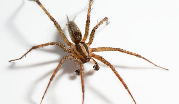 Hobo Spider Facts Size Bite Habitat Information