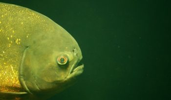 big eyed squirrel fish