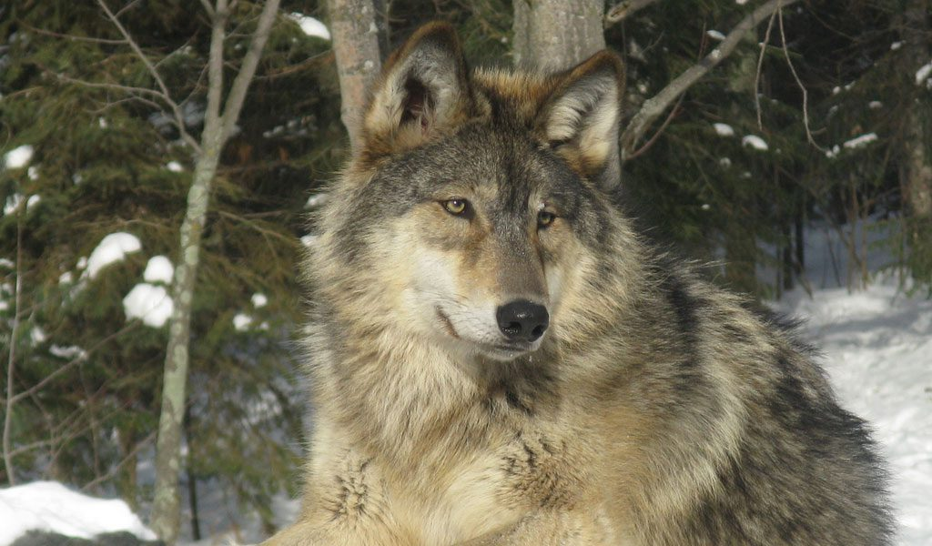 Or, check out the full list of animal. Grey Wolf Facts Size Diet Habitat Information
