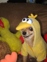I think this Big Bird might be an impostor | AnimalCosplay