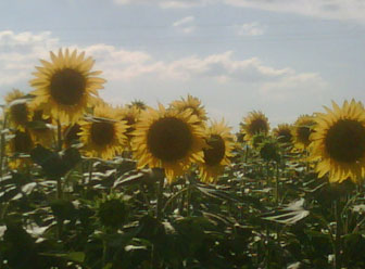 Sunflowers towering above us