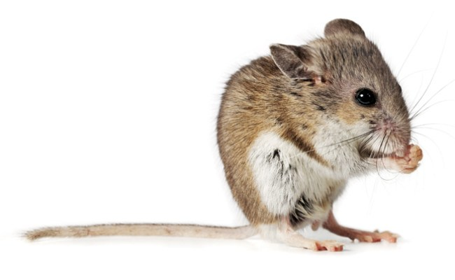 Hantavirus Emerging Zoological Diseases