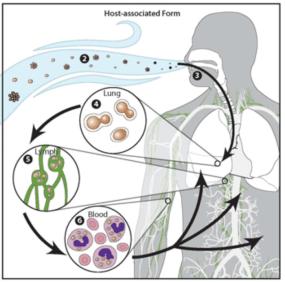Mechanism of infection of H. capsulatum