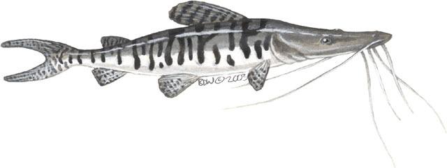 ADW: Pseudoplatystoma_fasciatum.jpg